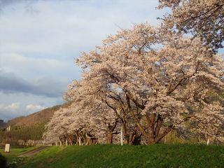 桜並木2_s.JPG